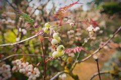 Embranchez-vous avec de belles baies de couleur d'automne et blanches Photographie stock libre de droits