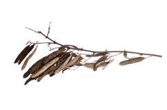 Embranchez-vous avec des épines et des graines d'arbre d'acacia sur un fond blanc Photographie stock