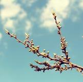 Embranchez-vous avec des bourgeons Photographie stock libre de droits