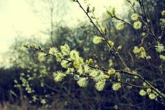Embranchez-vous avec des bourgeons Photos stock