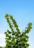 Embranchez-vous avec des feuilles Image libre de droits