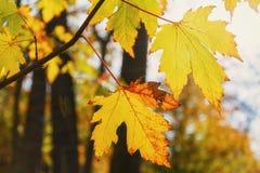 Embranchez-vous avec des feuilles d'automne dans les rayons du soleil Photographie stock