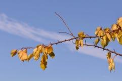 Embranchez-vous avec des feuilles en octobre Image libre de droits