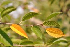Embranchez-vous avec des feuilles en septembre Photo libre de droits