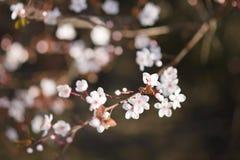 Embranchez-vous avec des fleurs au printemps Images stock