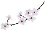 Amandes de fleur Photo libre de droits