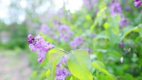 Embranchez-vous avec des fleurs de lilas de source clips vidéos