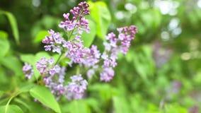 Embranchez-vous avec des fleurs de lilas de source banque de vidéos
