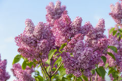 Embranchez-vous avec des fleurs de lilas de source Photographie stock libre de droits