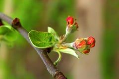Embranchez-vous avec des fleurs de pomme Images stock