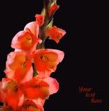 Embranchez-vous avec des fleurs des glaïeuls rouges, couvertes de rosée Images stock