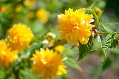Embranchez-vous avec des fleurs Kerry Japanese de jaune Image stock