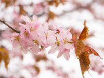 Embranchez-vous avec des fleurs Sakura Les buissons fleurissants abondants avec le rose bourgeonne des fleurs de cerisier Photo stock