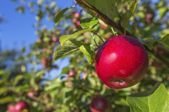 embranchez-vous avec des fruits Photo libre de droits