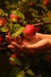Embranchez-vous avec des pommes Image stock