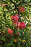 Embranchez-vous avec des pommes et laissez la croûte de la maladie Images libres de droits