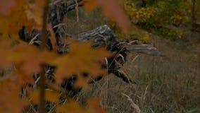 Embranchez-vous avec l'automne rouge de feuilles banque de vidéos