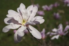 Embranchez-vous avec la fleur de magnolia Photos stock