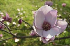 Embranchez-vous avec la fleur de magnolia Images stock