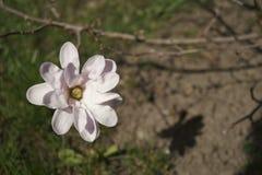Embranchez-vous avec la fleur de magnolia Images libres de droits