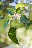 Embranchez-vous avec la pomme verte Photographie stock libre de droits