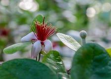 Embranchez-vous avec le feijoa de fleurs Image stock