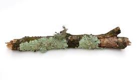 Embranchez-vous avec le lichen Photo libre de droits