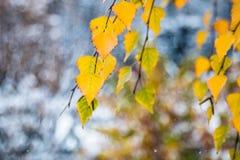Embranchez-vous avec les feuilles d'automne jaunes d'un bouleau sur un fond brouillé de la première neige Photographie stock