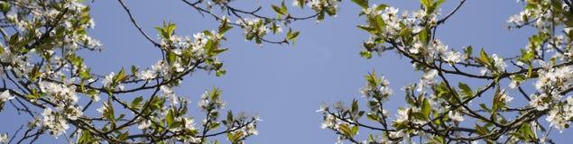 Embranchez-vous avec les fleurs blanches contre le ciel bleu Fleurs blanches de ressort d'un Apple-arbre dans un plan rapproché d Photo libre de droits