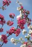 Embranchez-vous avec les fleurs blanches et roses Photographie stock libre de droits