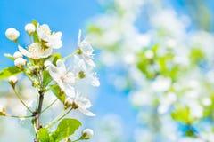 Embranchez-vous avec les fleurs blanches sur un cerisier de fleur Photo libre de droits