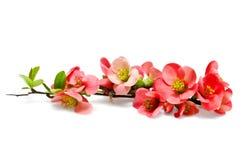 Embranchez-vous avec les fleurs rouges Photos stock