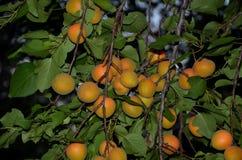 Embranchez-vous avec les fruits juteux de l'abricotier photo libre de droits