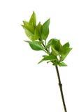 Embranchez-vous avec les lames vertes d'isolement sur le blanc Photo libre de droits