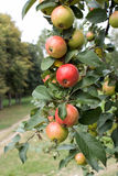 Embranchez-vous avec les pommes mûres Photo libre de droits