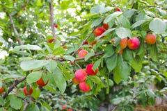 Embranchez-vous avec les prunes rouges Photo libre de droits