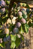 Embranchez-vous avec les prunes vertes Photos libres de droits