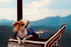 Embreagem de cão bonito da chihuahua na madeira foto de stock royalty free