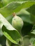 Embrião de Apple Fotografia de Stock Royalty Free