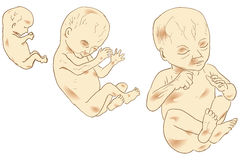 Embrión humano stock de ilustración