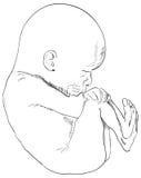 Embrión humano Imagen de archivo
