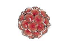 Embrión humano en fondo colorido ilustración 3D Fotografía de archivo