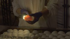 Embriões da verificação do trabalhador dentro dos ovos com ovo-verificador vídeos de arquivo