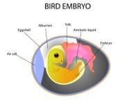 Embrione dell'uccello Immagine Stock Libera da Diritti