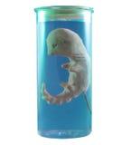 Embrioni clonati Fotografia Stock