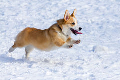 Рembroke Welsh Corgi Royalty Free Stock Photo