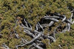 Embrouillement des troncs et des feuilles d'un buisson de haute montagne au printemps photos stock