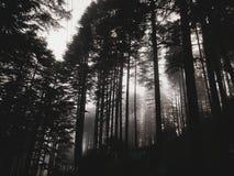 Embrumez trouver son chemin entre les longs arbres Photographie stock libre de droits