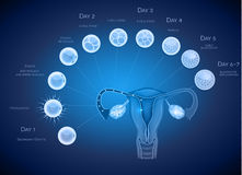 Embryo development blue background Stock Photos