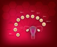 Embryo development. Fertilization and embryo development from ovulation till Blastocyst implantation in the uterus Stock Photos